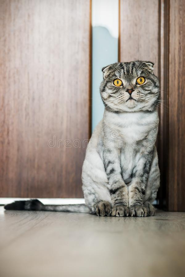 Cat Scottish fold trimmed without for sites stock images