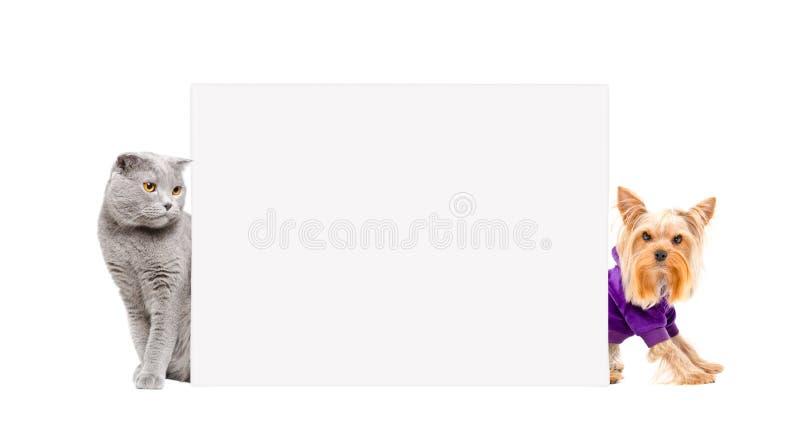 Cat Scottish Fold- und Yorkshire-Terrier, der hinter einer Fahne sitzt lizenzfreies stockfoto