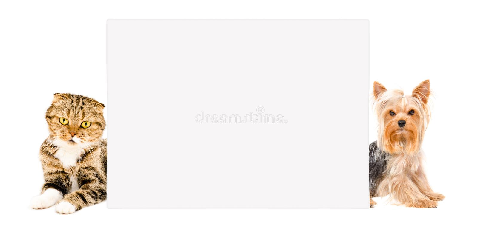 Cat Scottish Fold and Yorkshire terrier behind banner. Isolated on white background royalty free stock photo