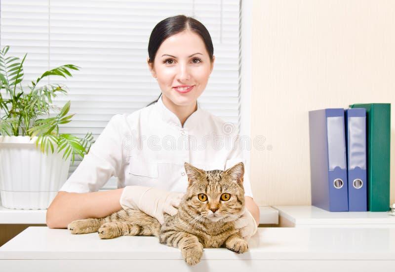 Cat Scottish Straight bij de dierenarts royalty-vrije stock afbeeldingen