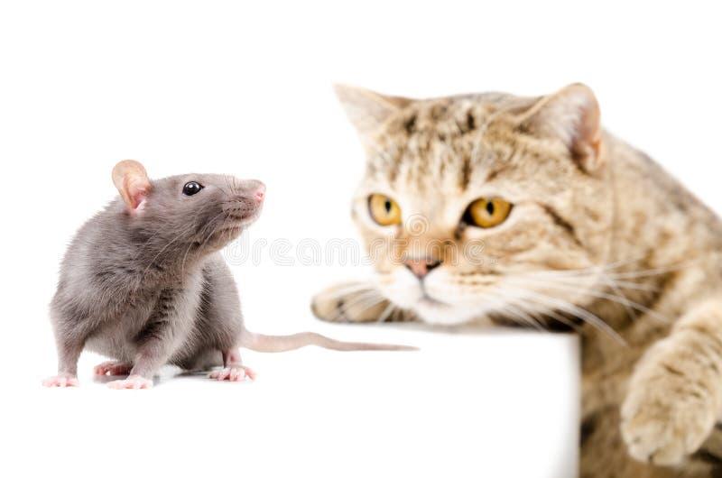 Cat Scottish Straight caça o rato fotos de stock