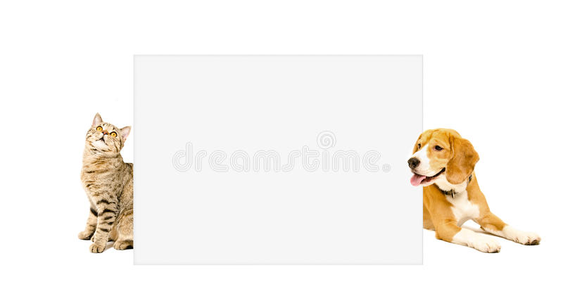 Cat Scottish Straight e o lebreiro perseguem espreitar do cartaz de trás imagem de stock royalty free