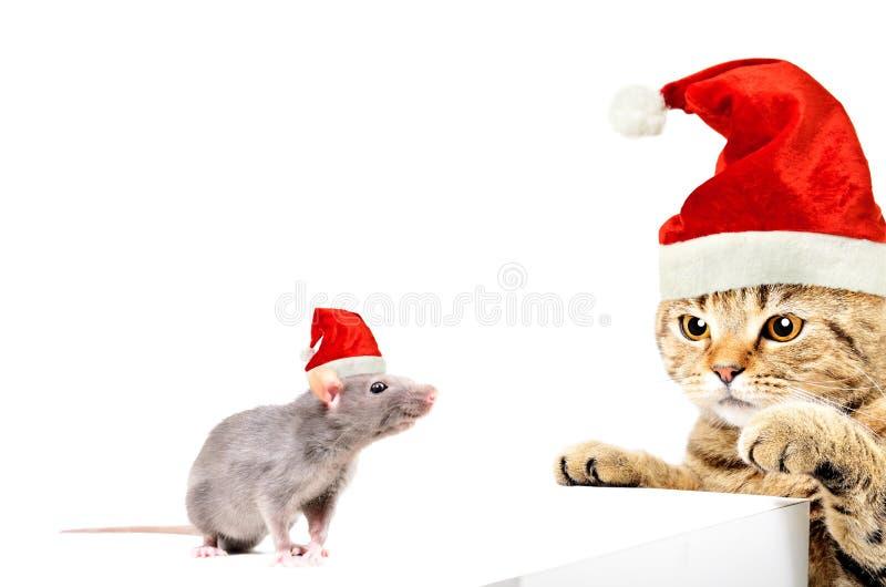 Cat Scottish Straight en rat in Nieuwjaar` s kappen die samen spelen stock afbeeldingen