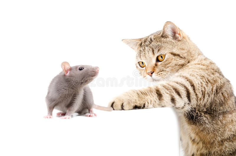 Cat Scottish Straight hunts rat. On white background stock image