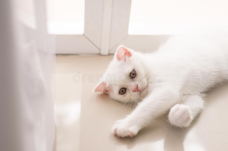 Cat Scottish white fluffy cute little animal at home royalty free stock photography