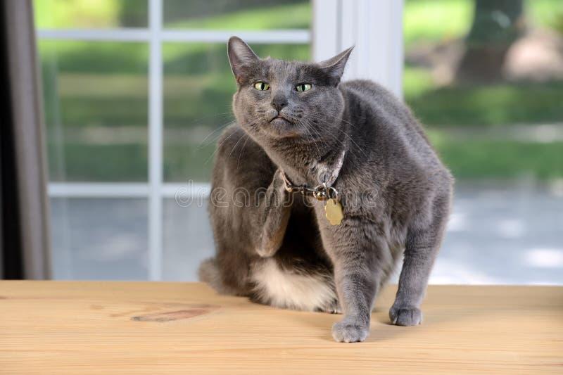 Cat Scratching Behind Head royalty-vrije stock fotografie