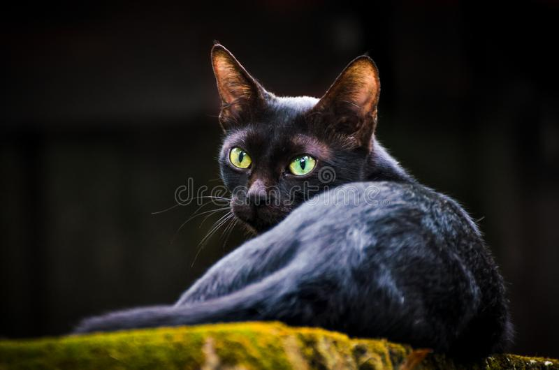 Cat with sharp green eyes royalty free stock photo