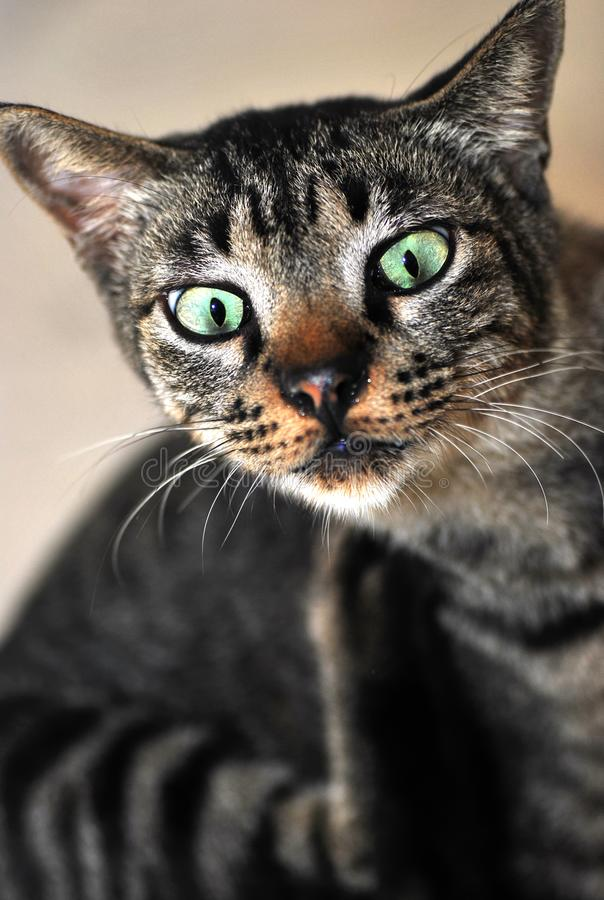 A cat with a shocked expression. A photo taken on a black tabby cat scratching itself. It has a shocked expression royalty free stock image