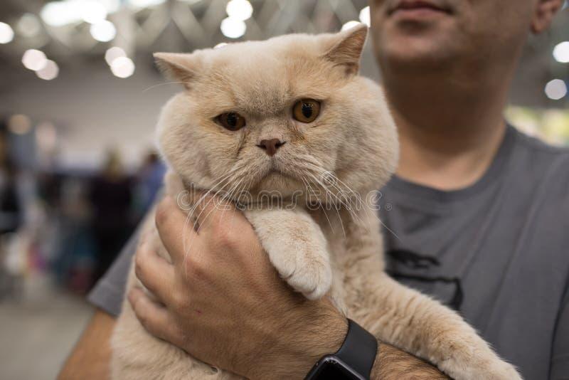 Cat Show Rome eccellente 2017 fotografia stock libera da diritti