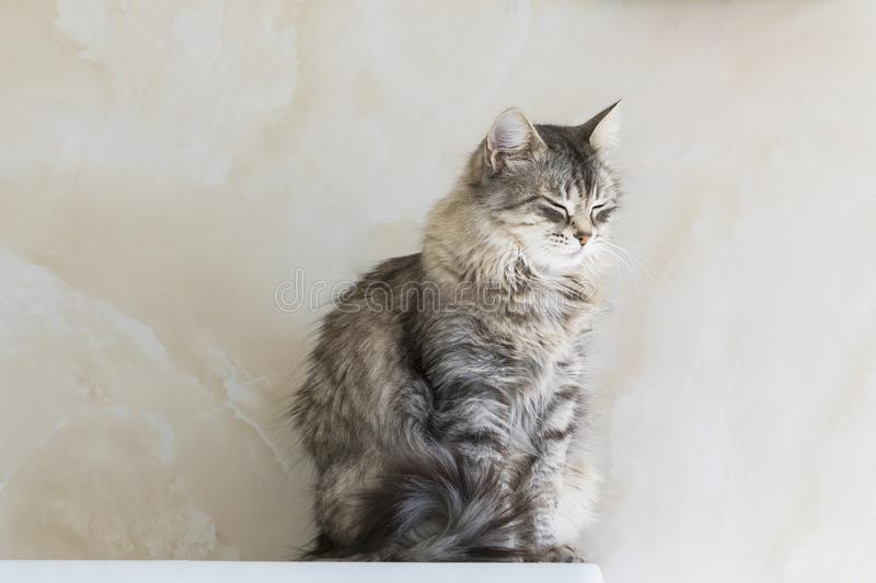 Cat of siberian breed in relax.Adorable pet of livestock, hypoallergenic kitten. Hypoallergenic cat of siberian breed, grey silver color. Pretty kitten indoor in stock photos