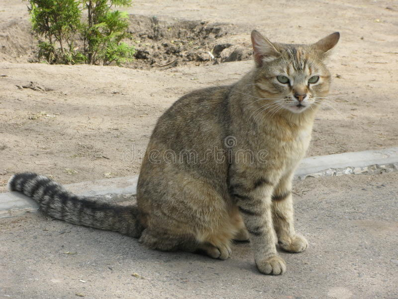 Cat on the sidewalk. Tiger cat sitting on the sidewalk stock images