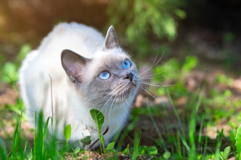 A cat sits on the grass on a summer sunny day in partial shade. Thai breed cat with blue eyes, sunlight on the left royalty free stock photo