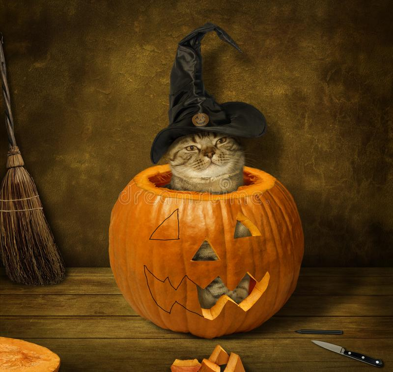 A cat in a pampkin. The cat sits in a pumpkin. It is preparing for the Halloween stock image