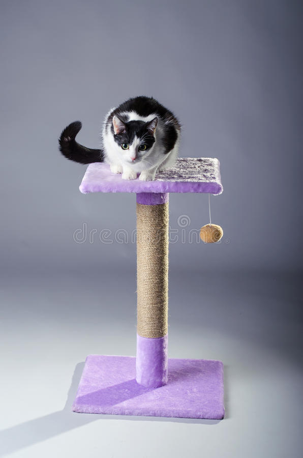 The cat sits on the scratching, on a gray background. Black and white cat posing for photos stock image
