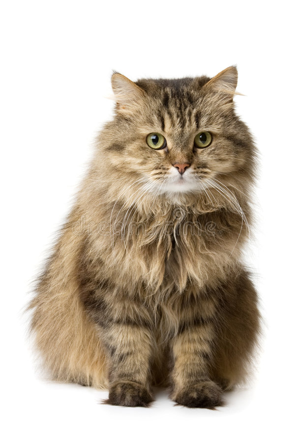 Cat sits and watches. Norwegian domestic cat sits and watches stock images