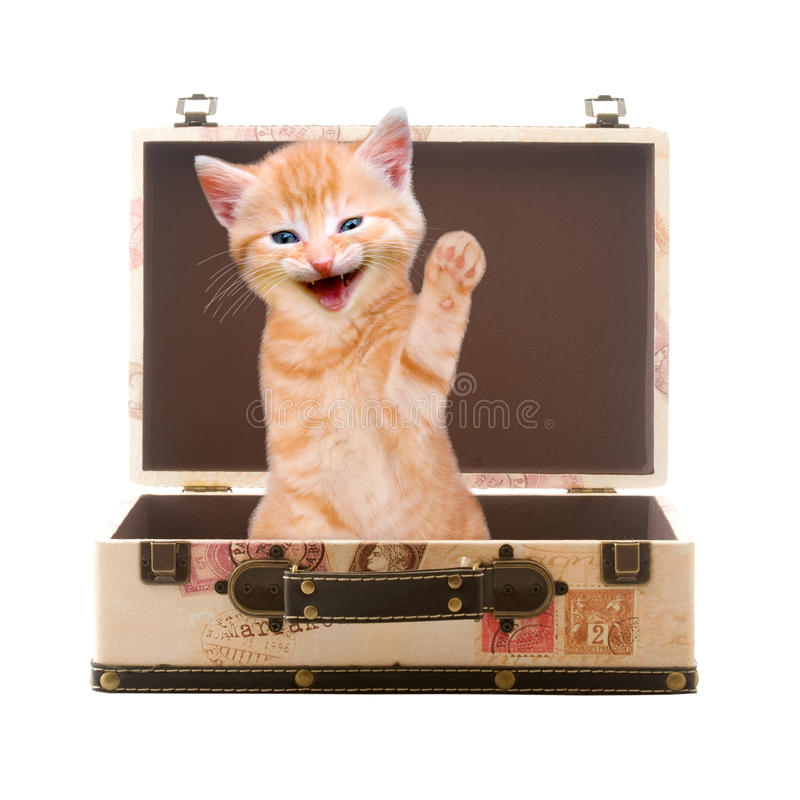 Cat sits waving and laughing in suitcase. Isolated on white background stock images