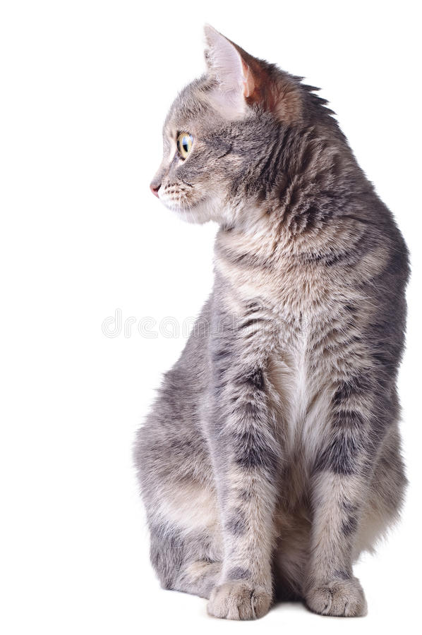 Download Cat sitting stock photo. Image of adorable, gray, young - 18949030