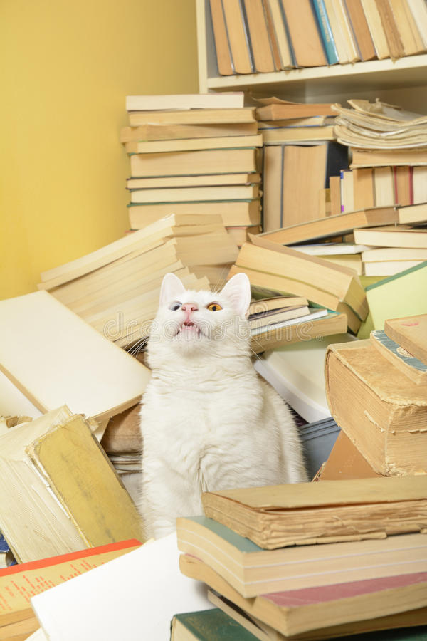 Cat sitting among books, showing its teeth. Selective focus. White cat with heterochromia iridum sitting among a pile of books, looking up, and cutely showing royalty free stock photography