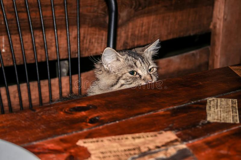The cat is sitting on a chair, squinting at the wooden table, begging for food royalty free stock photo