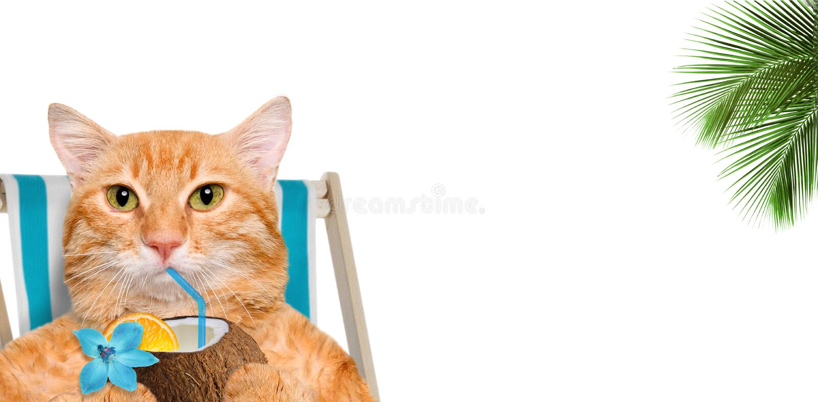 Cat sitting on deckchair and enjoying a cocktail . The white background stock images