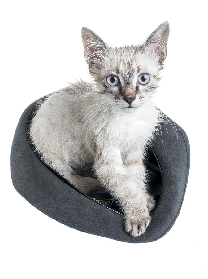The cat is sitting in the hat. A wet cat is sitting in a hat royalty free stock images