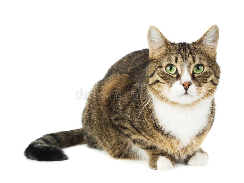 Cat sitting. Interested look. Isolated royalty free stock photo