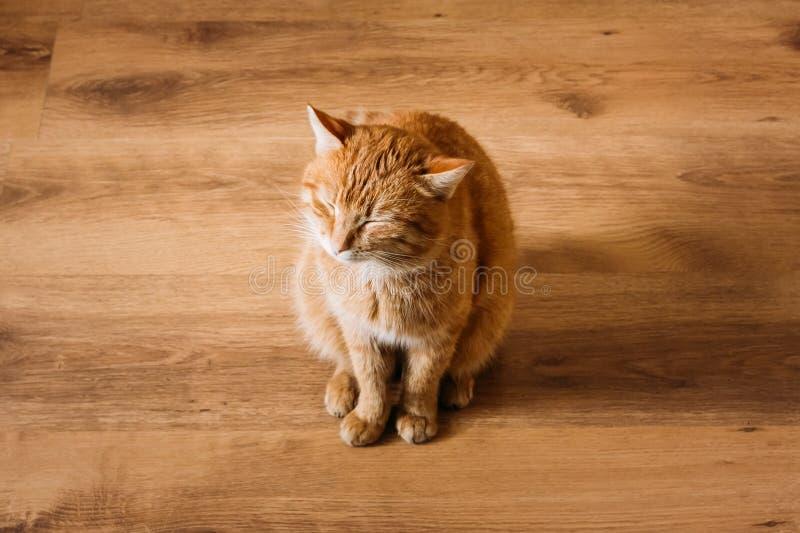 Cat Sitting On Laminate Floor vermelha imagens de stock royalty free