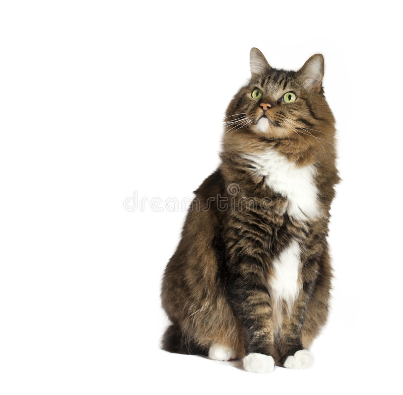 Cat Sitting Looking Upward. A brown mixed breed tabby cat with green eyes and four white paws sitting on white surface looking upward royalty free stock photos