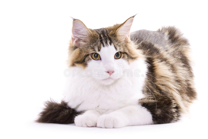 Cat sitting, Maine coon royalty free stock image