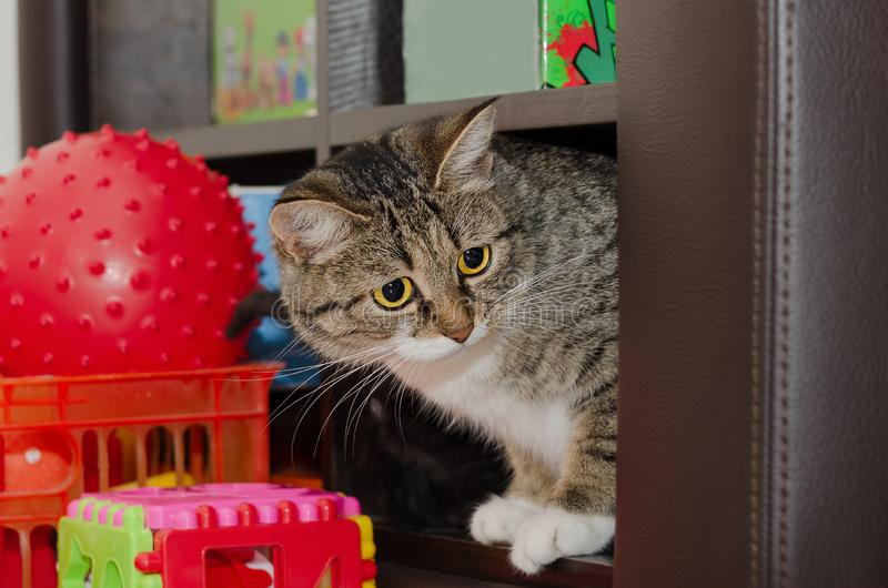 Cat sitting on a shelf with toys. Selective focus. Young cat sitting on a shelf with toys. Selective focus stock photo