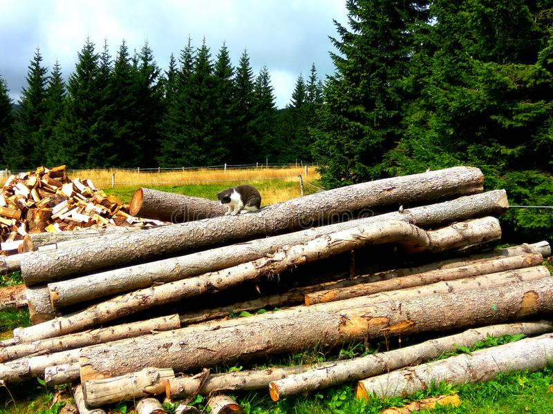 Cat Sitting on the Wood Logs. Near to Forest royalty free stock image