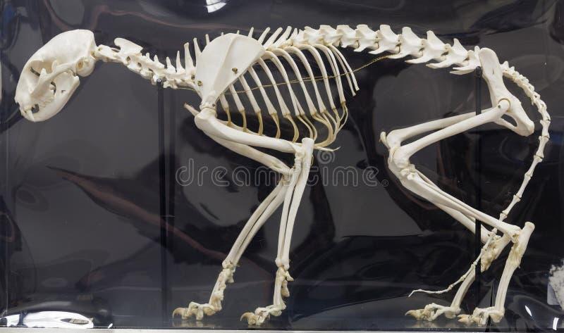 Cat Skeleton Anatomical Display lizenzfreies stockbild