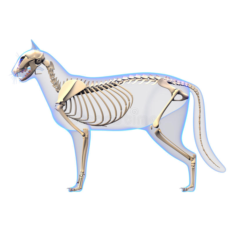 Cat Skeleton Anatomy Anatomy Of A Cat Skeleton Side View Stock