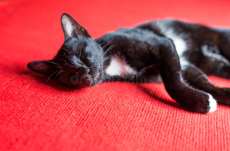 Cat Sleep fotografie stock