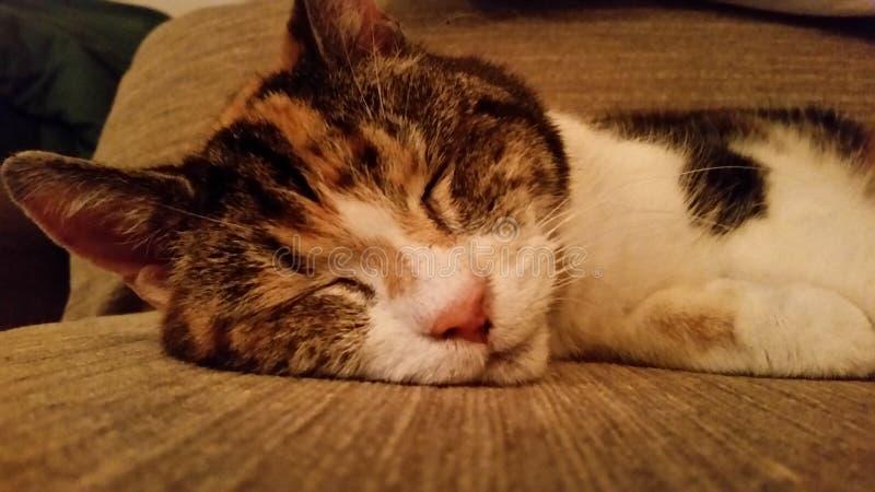 Cat Sleeping stockbilder