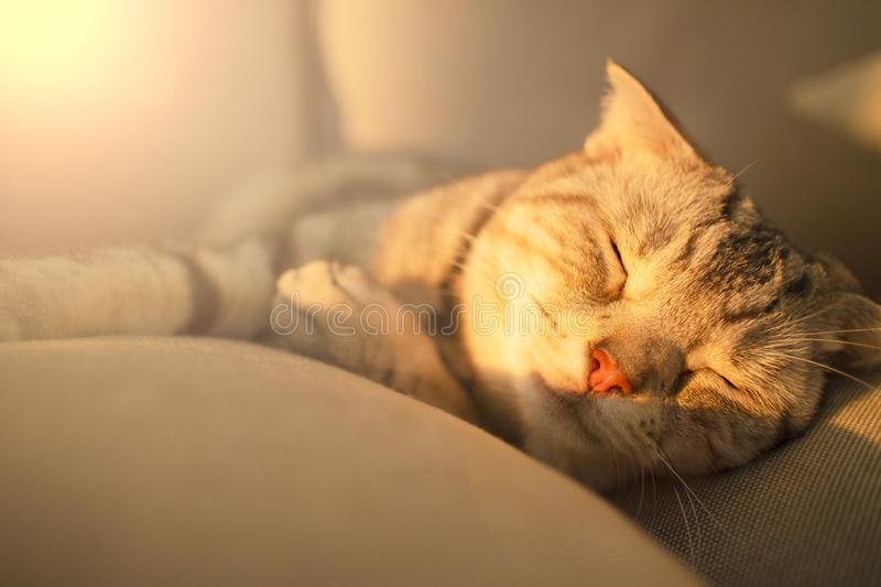 cat sleeping on the couch royalty free stock images