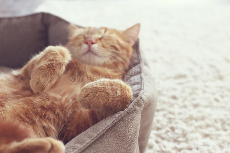 Cat sleeping. A ginger cat sleeps in his soft cozy bed on a floor carpet, soft focus royalty free stock image