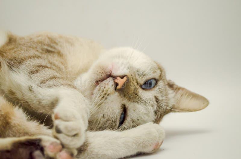Cat Sleeping Pet Cute Cat Gray White stock afbeeldingen