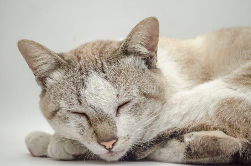 Cat Sleeping Pet Cute Cat Gray White stock foto's