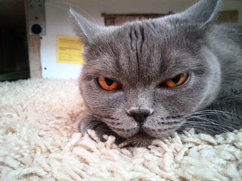 A cat sleeps on a carpet. A cat the sleeps on a carpet stock photos