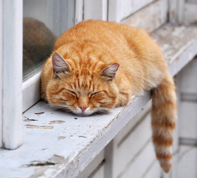 Cat sleeps royalty free stock photo