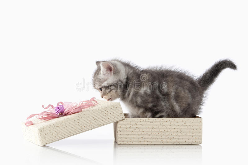 Cat. Small silver british kitten on white background royalty free stock images