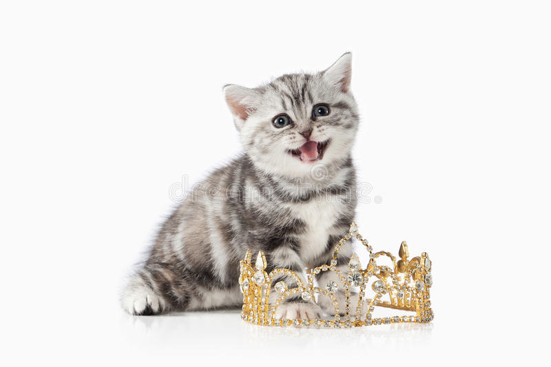 Cat. Small silver british kitten on white background stock image
