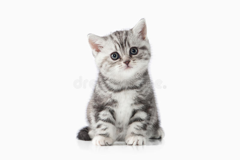 Cat. Small silver british kitten on white background royalty free stock photos