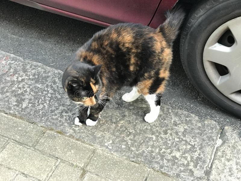 Cat, Small To Medium Sized Cats, Cat Like Mammal, Fauna royalty free stock image
