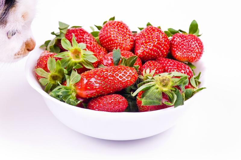 Download Cat smells strawberry stock photo. Image of ripe, colorful - 8834696