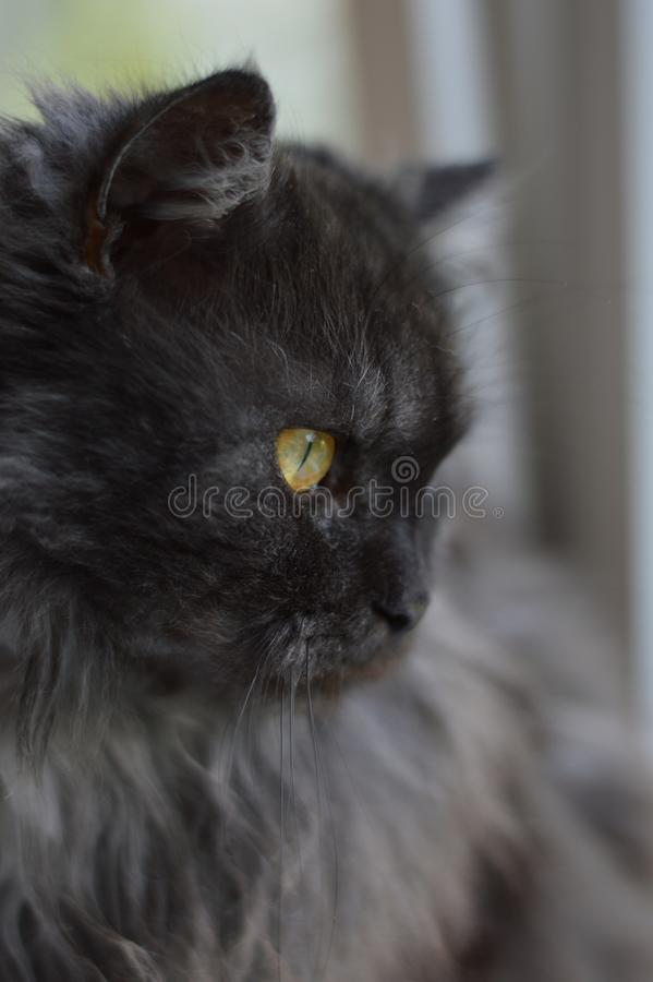 Cat, smoky, fluffy, hunter, portrait, gray cat, cat looking out the window, cat sitting on the windowsill stock image
