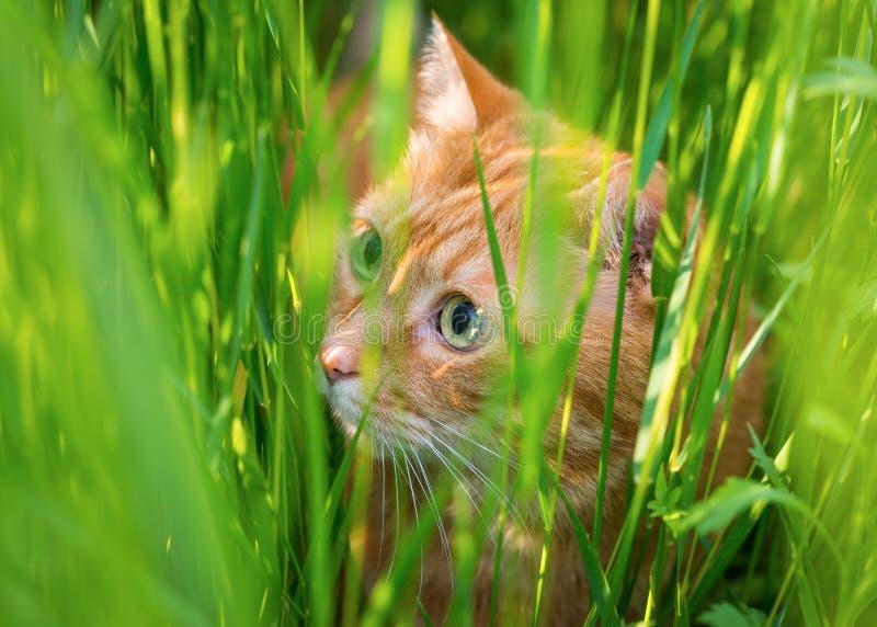 Cat sneaking through the grass. stock photos