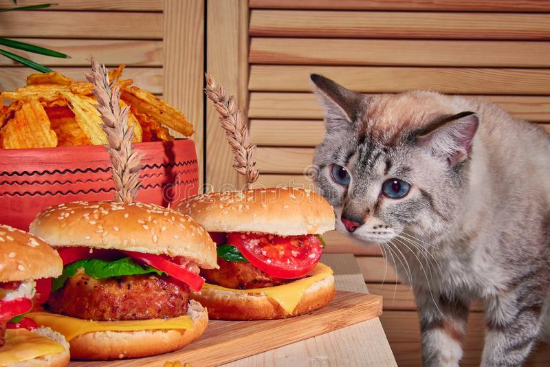 Cat sniffs burgers standing on wooden board in cafe. Cat climbed onto table and sniffed hamburgers with meat. royalty free stock image