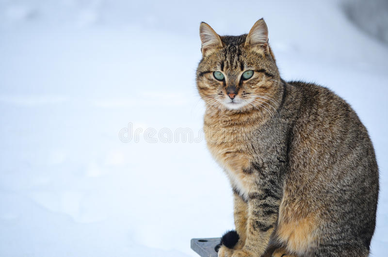 Cat in the snow royalty free stock photos